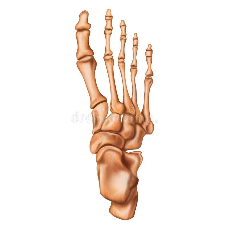 Ossos do p? humano Vista superior Anatomia humana ilustração royalty free