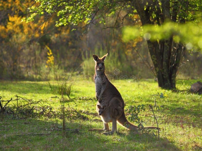 Ost-Grey Kangaroo mit Joey lizenzfreie stockbilder