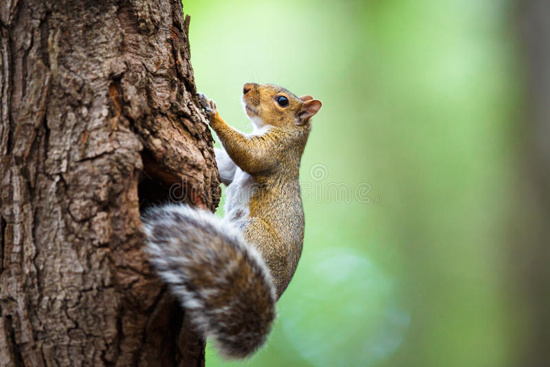 Ost-Grey Squirrel lizenzfreies stockbild