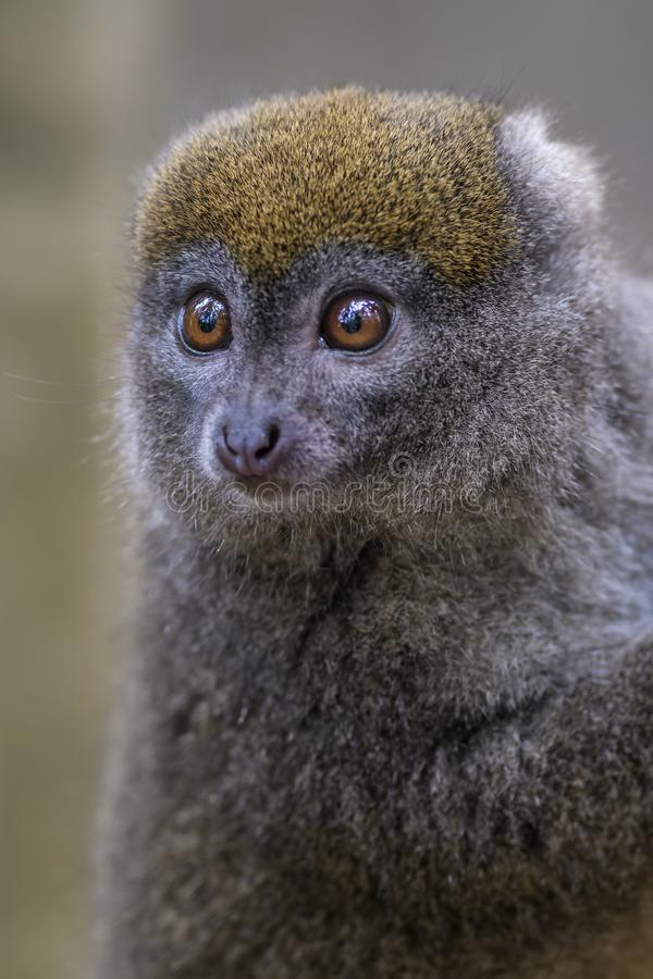 Ost-Lesser Bamboo Lemur- - Hapalemur-griseus stockfoto