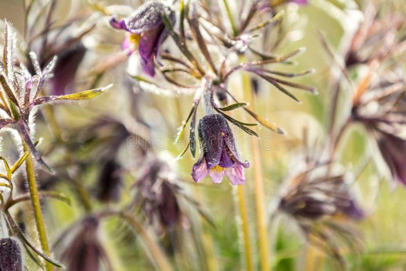 Ost-pasqueflower, Graslandkrokus, cutleaf Anemone mit Wasser stockfotografie