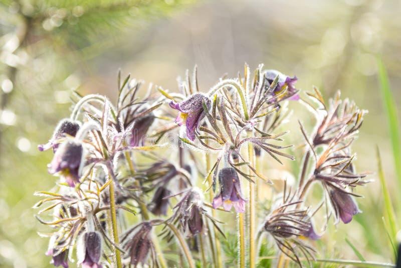 Ost-pasqueflower, Graslandkrokus, cutleaf Anemone mit Wasser stockbilder