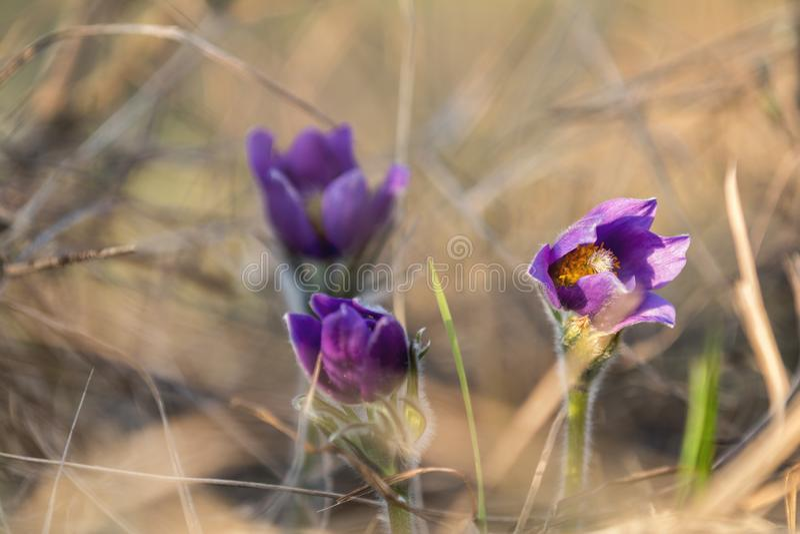 Ost-pasqueflower, Graslandkrokus, cutleaf Anemone (Pulsatilla patens stockfotos