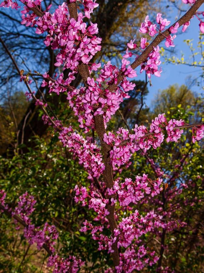 Ost-Redbud-Baum-Frühlings-Blüte lizenzfreies stockbild