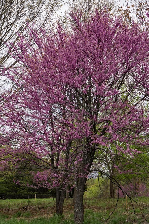 Ost-Redbud-Baum im Frühjahr - Cercis Canadensis stockfotografie