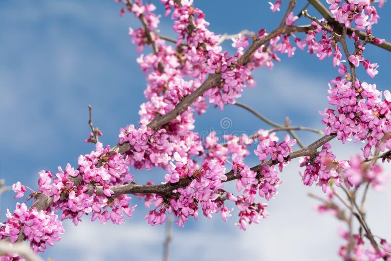 Ost-Redbud-Baumaste im Frühjahr umfasst in der Blüte stockfotos