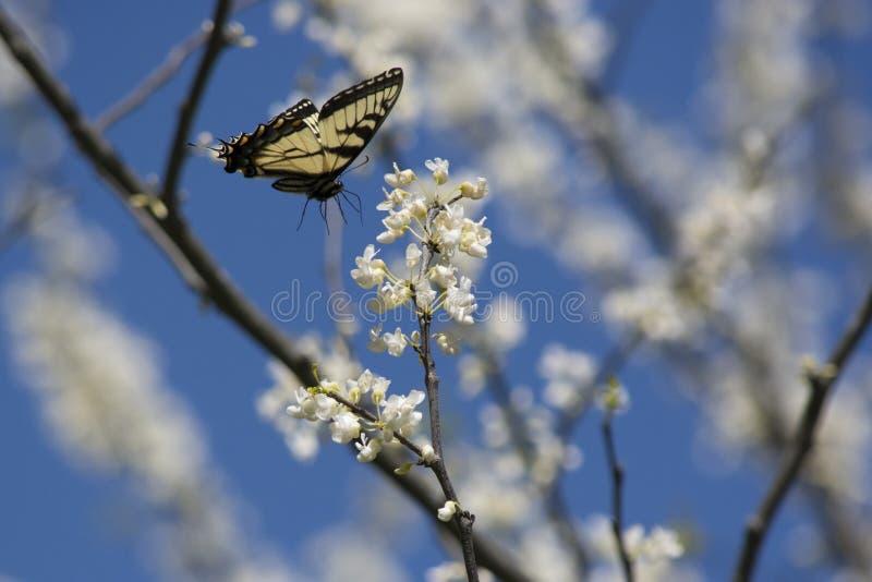 Ost-Swallowtail im Flug nahe weißen redbud Blumen stockbilder