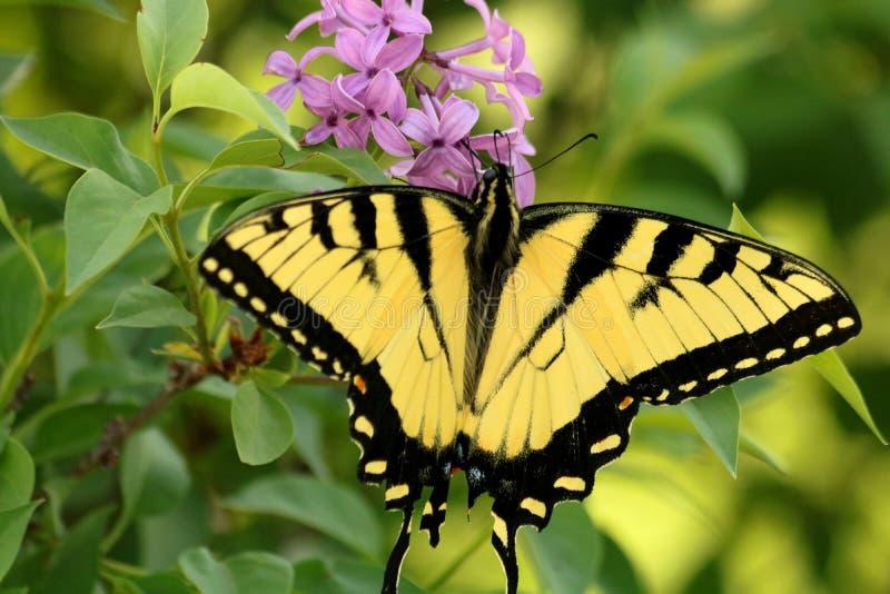 Ost-Tiger Swallowtail Butterfly und purpurrote Blumen lizenzfreie stockfotos