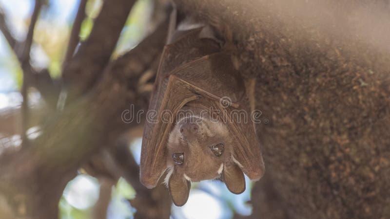 Ostafrikaner Epauletted-Frucht-Schläger-Hängen stockfoto