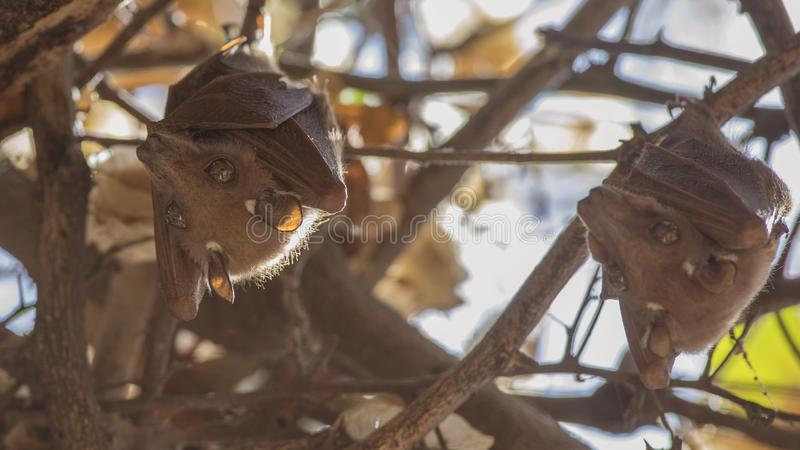 Ostafrikaner Epauletted-Frucht-Schl?ger auf Baum stockfoto