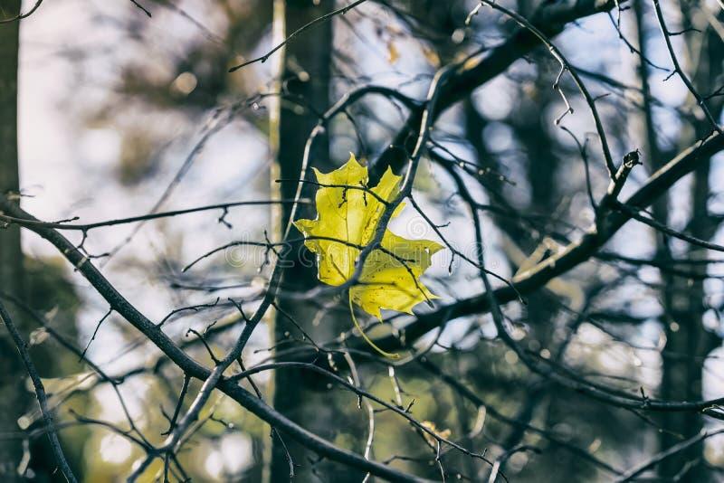 Ostatni jesień liść klonowy na pustych gałąź drzewo przeciw zimnemu niebieskiemu niebu Sezony, nostalgiczny trybowy pojęcie zdjęcia stock