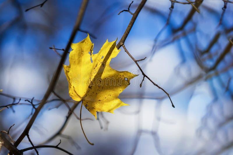 Ostatni jesień liść klonowy w pustych gałąź przeciw tłu zimny niebieskie niebo Sezony, nostalgiczny nastrój zdjęcie stock