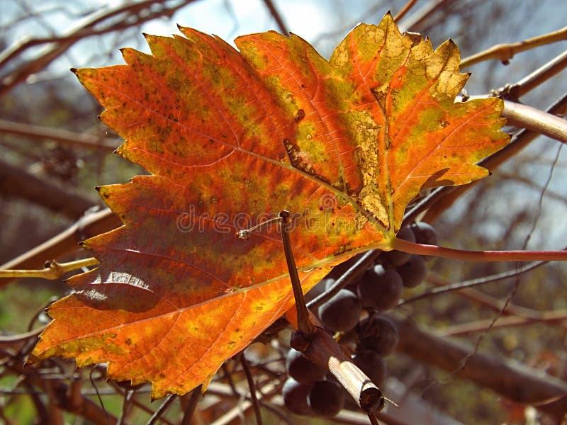 Ostatni liść na winogradzie w jesieni fotografia royalty free