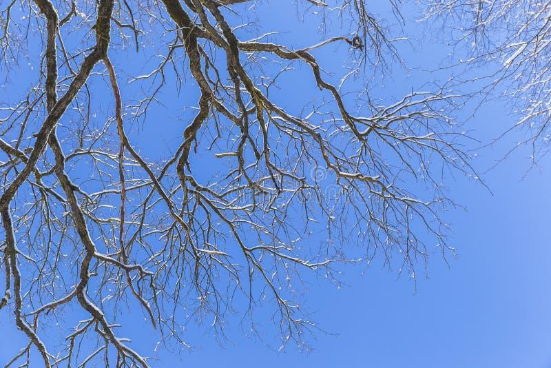 Ostatni roztapiający śnieg na gałąź drzewa w wiośnie fotografia royalty free