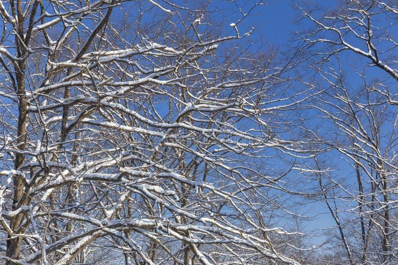 Ostatni roztapiający śnieg na gałąź drzewa w wiośnie zdjęcia royalty free