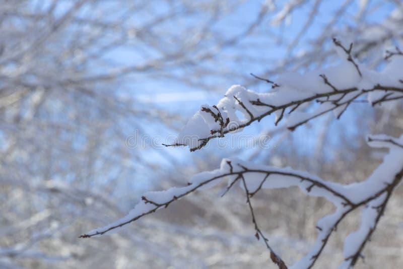 Ostatni roztapiający śnieg na gałąź drzewa w wiośnie fotografia stock