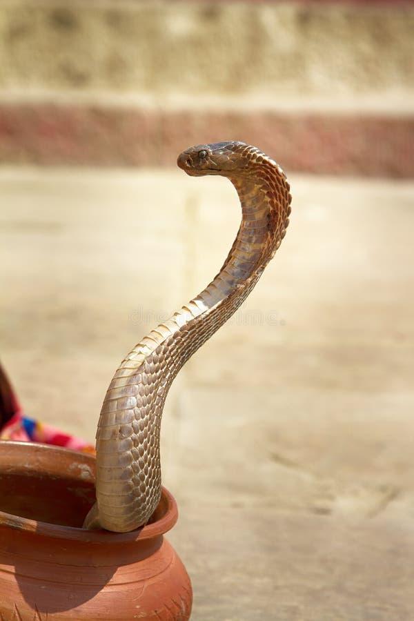Ostatni węża podrywacz od Benares (Bede) obrazy royalty free