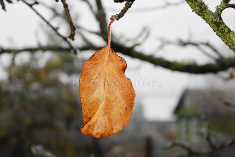 ostatniej jesieni suchy żółty liść na jabłoni gałąź obraz stock