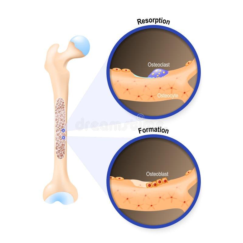 Osteoblast i osteoclast ilustracji