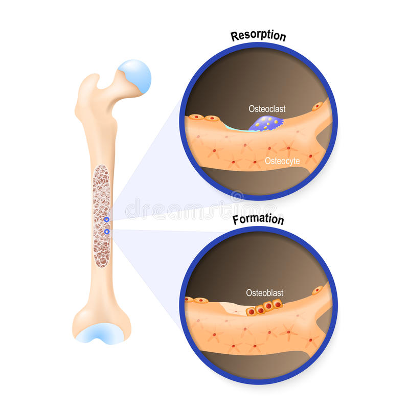 Osteoblast and osteoclast stock illustration