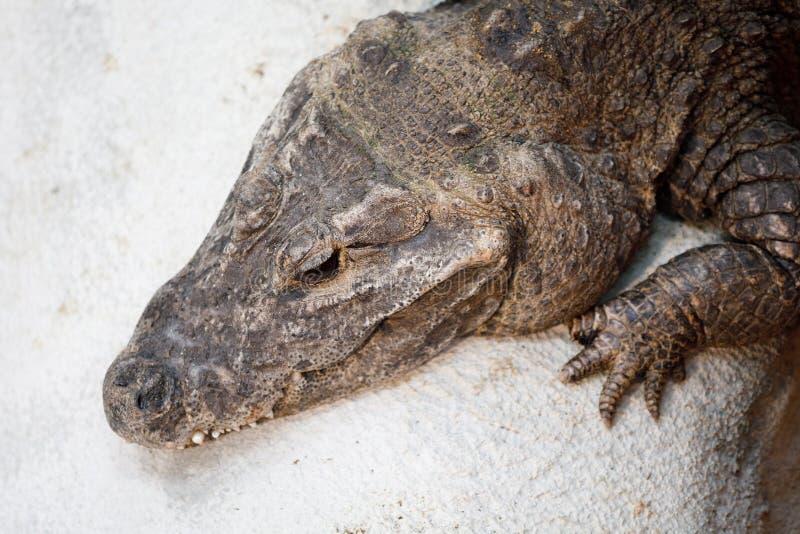 Osteolaemus tetraspis nano del coccodrillo immagini stock libere da diritti