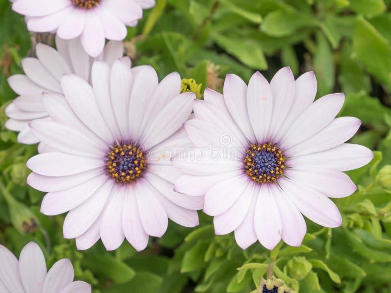 Osteospermum在庭院,非洲雏菊里开花 库存照片
