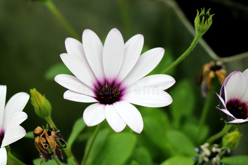 osteospermum的美妙的白色瓣自温室 免版税库存照片