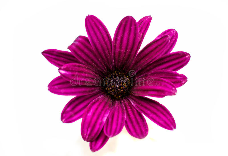 Osteospermum雏菊或海角雏菊花花 免版税库存图片