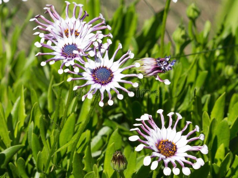 Osteospermum στον κήπο το καλοκαίρι στοκ εικόνες