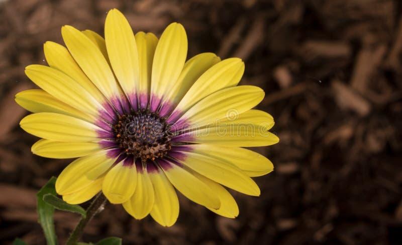 Osteospermum 'belleza de ojos azules 'florece en un macizo de flores imagen de archivo