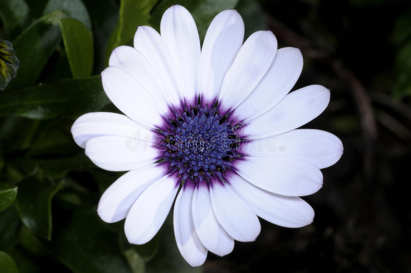 Osteospermum stock photos