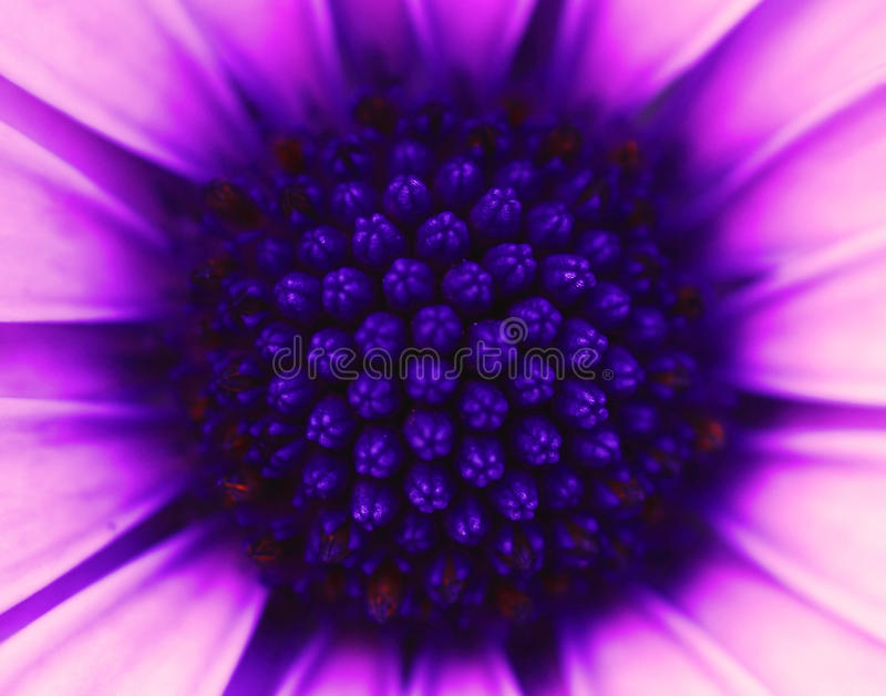 osteospermum royaltyfri foto