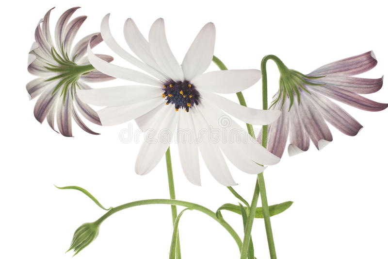 Osteospermum immagine stock