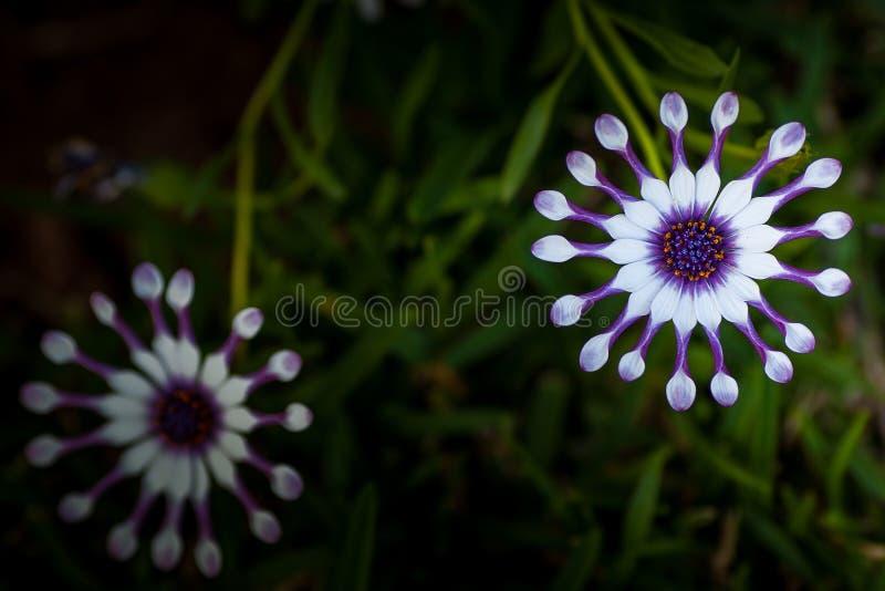 Osteospermum (Afrikaans madeliefje) witte bloem royalty-vrije stock afbeeldingen