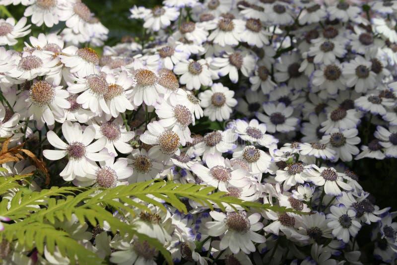 Osteospermum blanco Margaritas africanas florecientes del Asteraceae de la familia del girasol imagenes de archivo