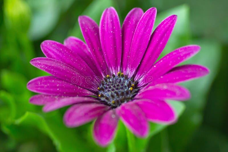Download Osteospermum - Bloem stock foto. Afbeelding bestaande uit detail - 39103452