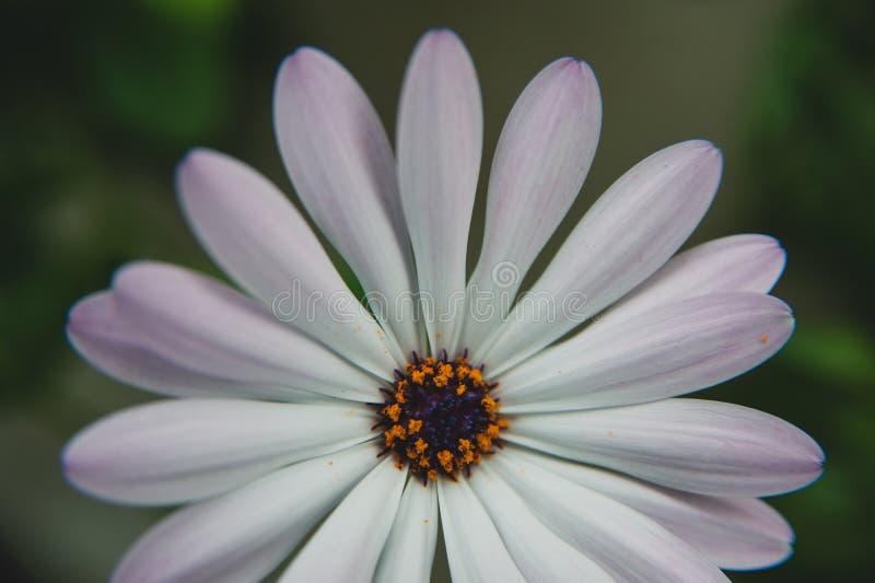 Osteospermum blommamakro royaltyfri bild