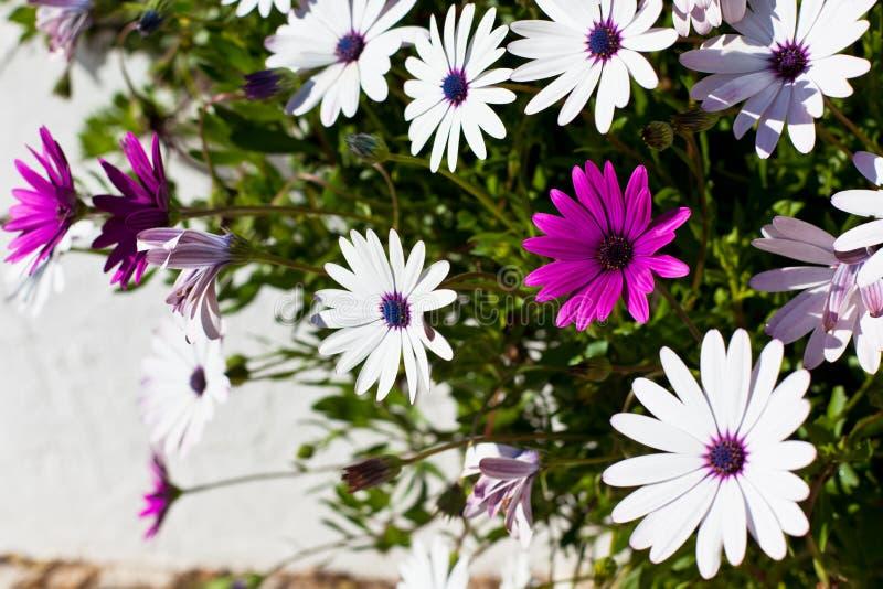 Osteospermum blommar på Sunny Day arkivfoto