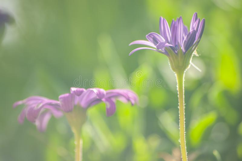 Osteospermum commonly known as African daisy. Closeup of purple flower stock image