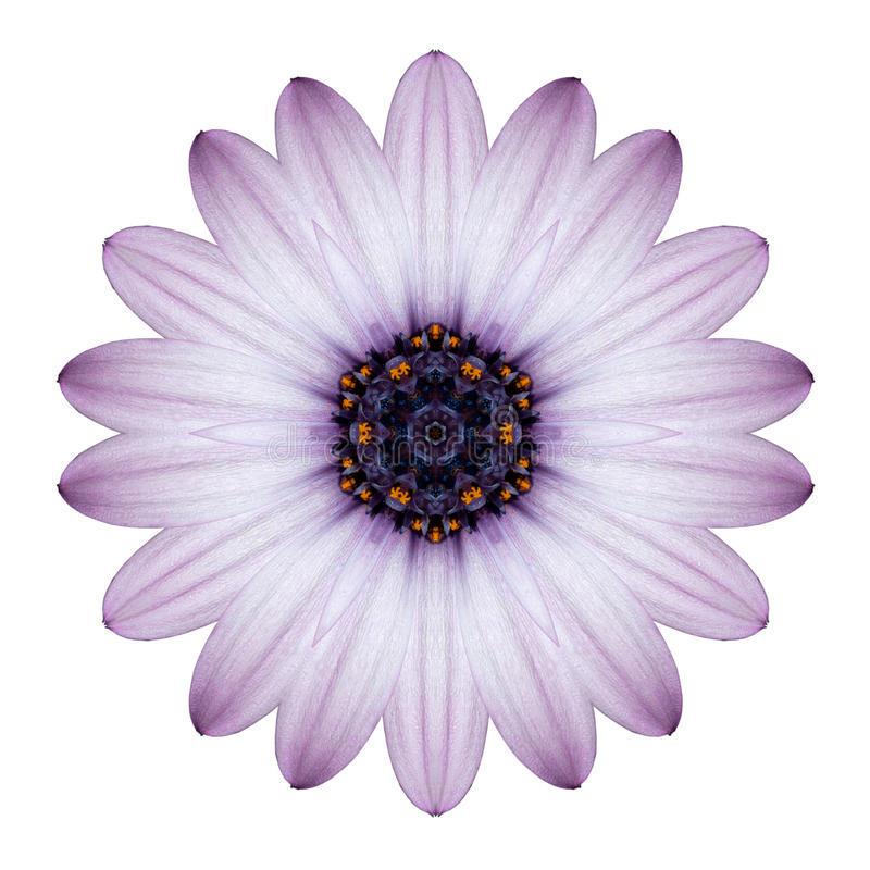 Osteospermum Daisy Kaleidoscopic Flower Mandala Isolated arkivfoto