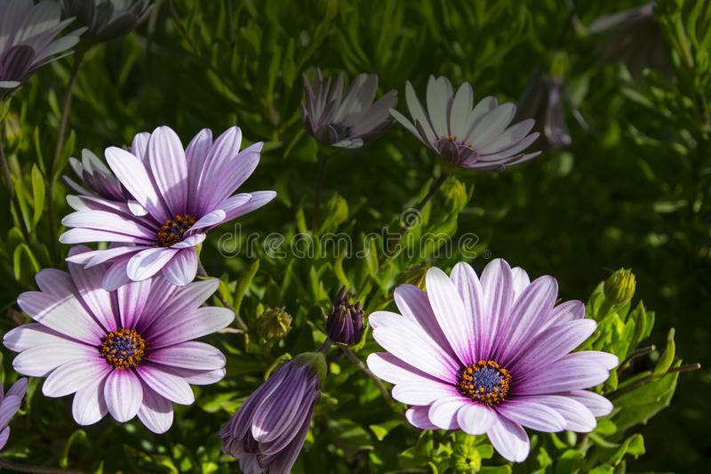 Osteospermum ecklonis开花海角延命菊花,非洲雏菊 紫色雏菊花卉生长在我的庭院里 免版税库存照片