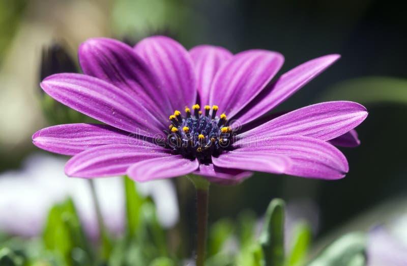 Download Osteospermum ecklonis stock image. Image of colour, joss - 19703339