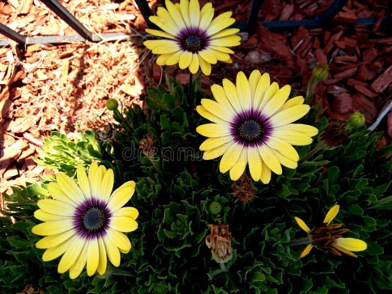 Osteospermum ecklonis `Blue Eyed Beauty`, African Daisy stock image