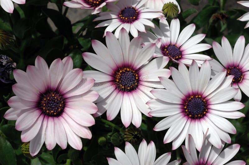 Osteospermum 'Ensoleille fotos de archivo libres de regalías