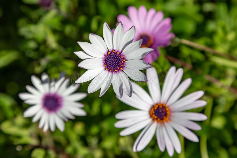 Osteospermum Flowers royalty free stock image