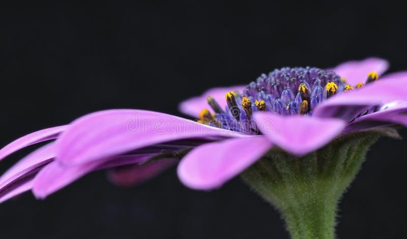 Osteospermum Fruticosum imagens de stock royalty free