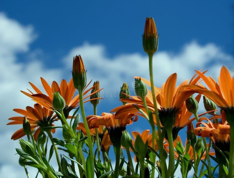 Download Osteospermum hybrydowy obraz stock. Obraz złożonej z mały - 144249