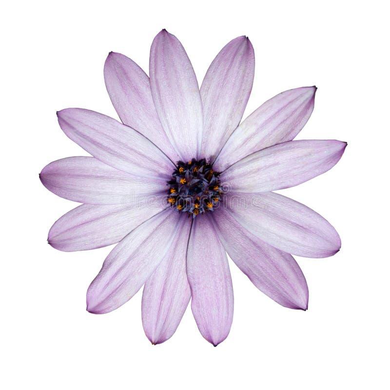 Osteospermum - luz - cabeça de flor roxa da margarida imagem de stock