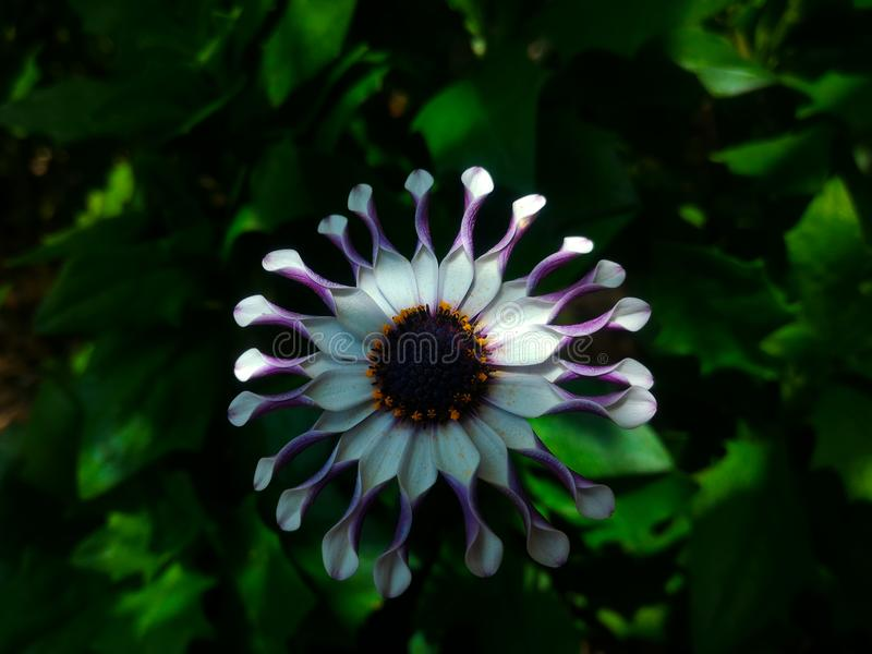 Osteospermum, margarita white spoon flower stock photography