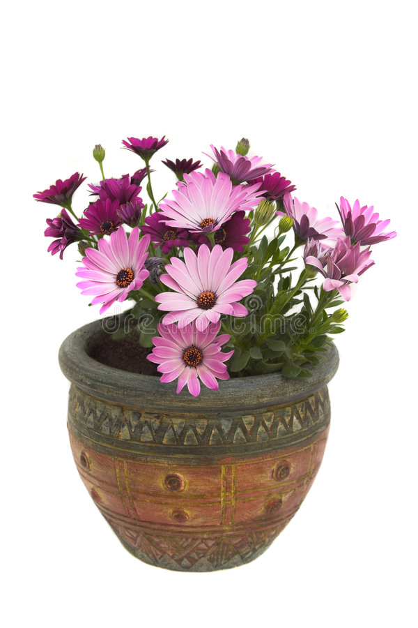 osteospermum mis en pot photo stock image du centrale 2497820. Black Bedroom Furniture Sets. Home Design Ideas